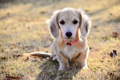 Select Dachshunds Akc Miniature Dachshunds For Sale In Texas